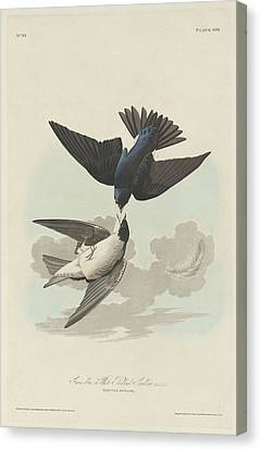 Green-blue Or White-bellied Swallow Canvas Print by John James Audubon