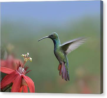 Green Breasted Mango Hummingbird Male Canvas Print by Tim Fitzharris