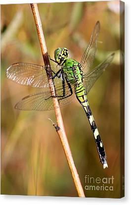 Green Dragonfly Closeup Canvas Print by Carol Groenen
