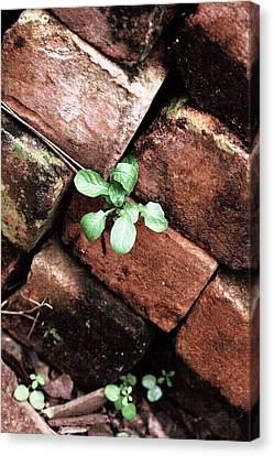 Green Growths In A  Brickpile Canvas Print by Noel Hankamer