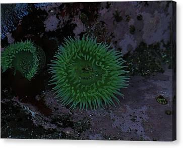 Green Sea Anenome Canvas Print by Dan Sproul