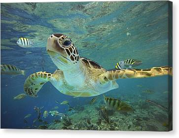 Green Sea Turtle Chelonia Mydas Canvas Print by Tim Fitzharris