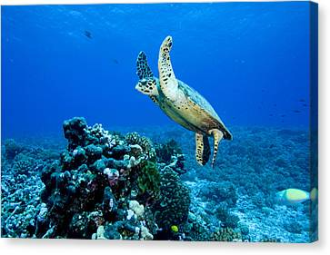 Green Sea Turtle Chelonia Mydas Canvas Print by Tim Laman