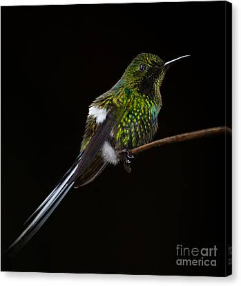 Green Thorntail Canvas Print by Michael Trahan