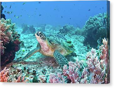 Green Turtle Canvas Print by Wendy A. Capili