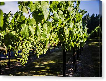 Green Wine Grapes 2 Canvas Print by Pelo Blanco Photo