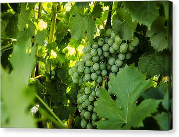 Green Wine Grapes Canvas Print by Pelo Blanco Photo