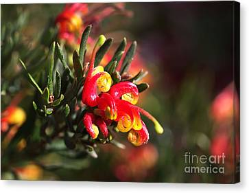 Grevillea Ground Cover Canvas Print by Joy Watson