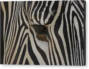 Grevys Zebra Equus Grevyi Close Canvas Print by Zssd