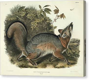 Grey Fox Canvas Print by John James Audubon