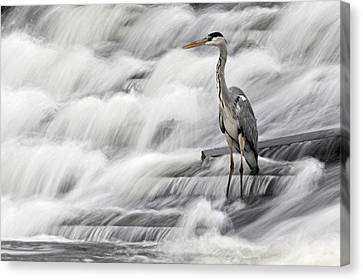Grey Heron Fishing In Annacotty Waterfall Ireland  Canvas Print by Pierre Leclerc Photography