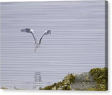 Grey Heron Flying Over A Loch On The Isle Of Mull Canvas Print by Mr Bennett Kent