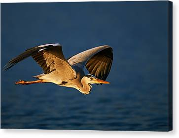 Grey Heron In Flight Canvas Print by Johan Swanepoel