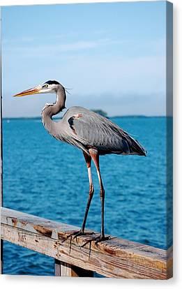 Grey Heron Canvas Print by Robert Meanor