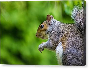 Grey Squirrel Canvas Print by Martin Newman