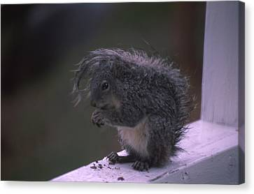 Grey Tree Squirrel Canvas Print by Soli Deo Gloria Wilderness And Wildlife Photography