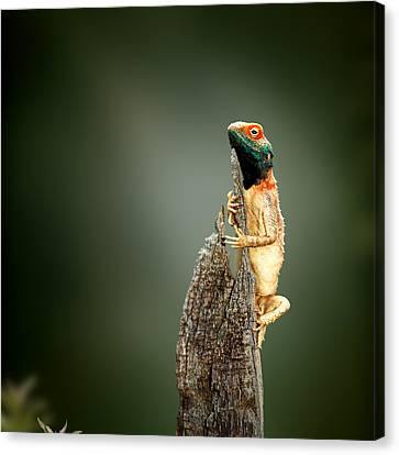 Ground Agama Sunbathing Canvas Print by Johan Swanepoel