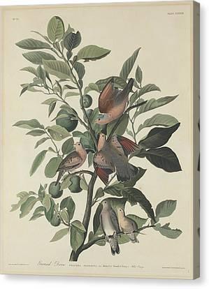 Ground Dove Canvas Print by John James Audubon