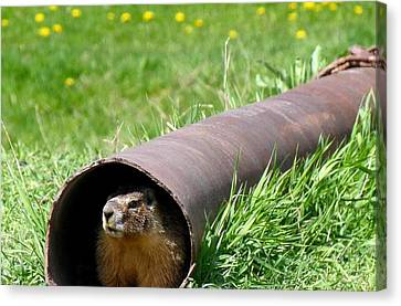 Groundhog In A Pipe Canvas Print by Will Borden
