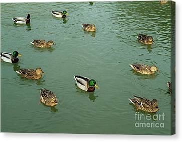 Group Of Male And Female Ducks On The Water Canvas Print by Sami Sarkis