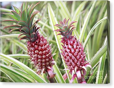 Growing Red Pineapples Canvas Print by Brandon Tabiolo - Printscapes