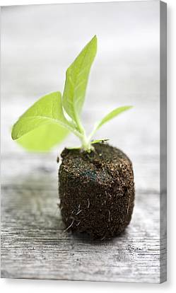 Growth Canvas Print by Frank Tschakert