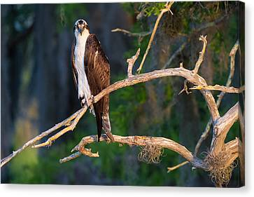 Grumpy Osprey Not Ready For Its Picture Canvas Print by Andres Leon
