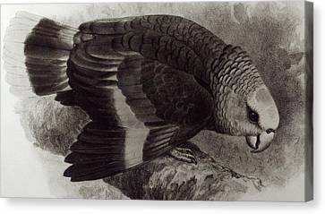 Guilding's Amazon Parrot,  Canvas Print by English School