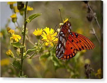 Gulf Fritillary Agraulis Vanillae Red Butterfly Canvas Print by Dustin K Ryan