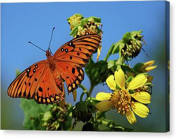 Gulf Fritillary Butterfly Canvas Print by Skip Willits