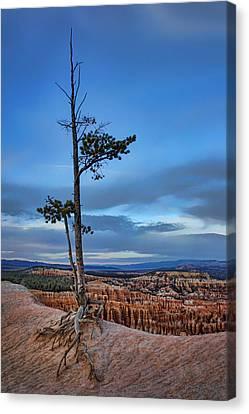 Hanging On - Limber Pine - Bryce Canvas Print by Nikolyn McDonald