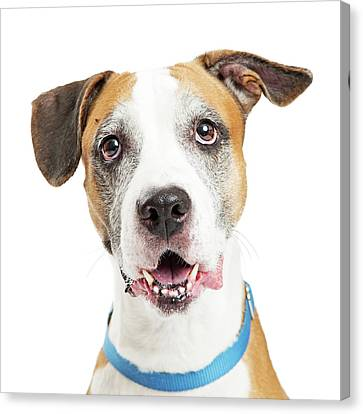 Happy Crossbreed Big Dog Closeup Canvas Print by Susan Schmitz