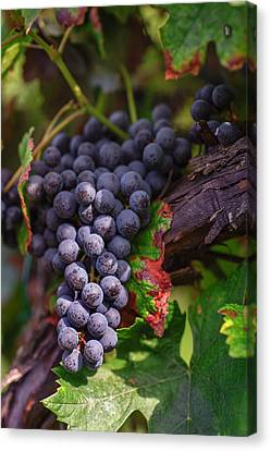Harvest Time In Palava Vineyards Canvas Print by Jenny Rainbow