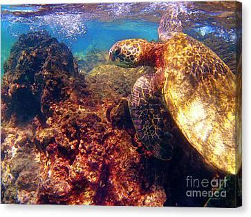 Hawaiian Sea Turtle - On The Reef Canvas Print by Bette Phelan