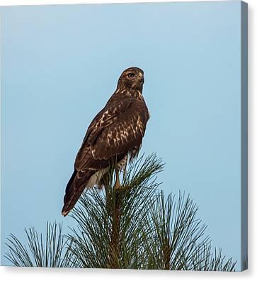 Hawk At Twilight Canvas Print by Loree Johnson