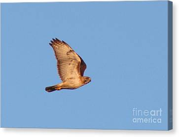 Hawk  Canvas Print by Neal  Eslinger
