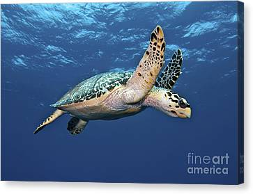 Hawksbill Sea Turtle In Mid-water Canvas Print by Karen Doody