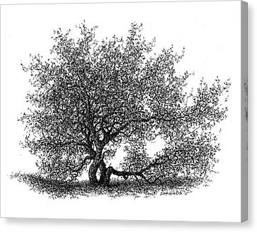 Hawthorne In The Spring Canvas Print by Steven Hawkes