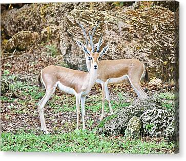 Head To Head Canvas Print by Judy Kay