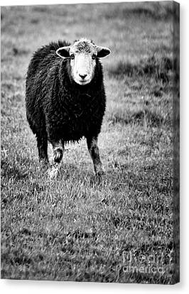 Herdwick Sheep Canvas Print by Meirion Matthias