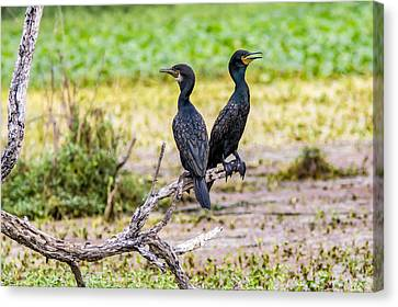 Here And There  - Cormorant Pair  Canvas Print by Ramabhadran Thirupattur