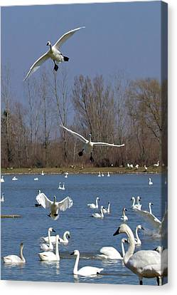 Here Come The Swans Canvas Print by Bill Lindsay