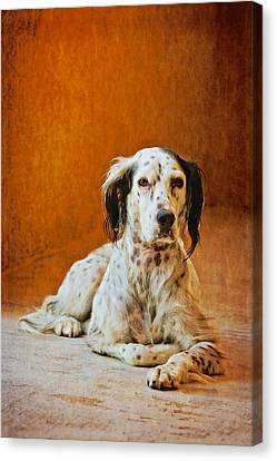 Being The Dog, English Setter  Canvas Print by Flying Z Photography By Zayne Diamond