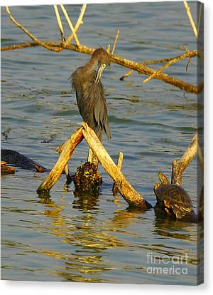 Heron And Turtle Canvas Print by Robert Frederick