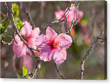 Hibiscus Canvas Print by American School