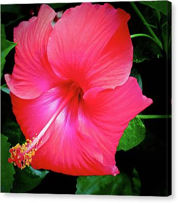 Hibiscus Blossom Canvas Print by Tony Grider