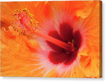 Hibiscus Close-up Canvas Print by Andrew Soundarajan