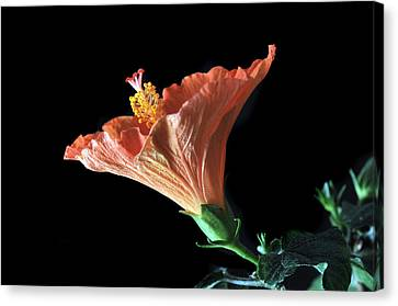 Hibiscus Vein Canvas Print by Terence Davis