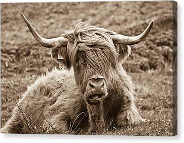 Highland Cow  Canvas Print by Justin Albrecht