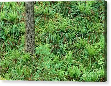 Hillside Ferns Canvas Print by Greg Vaughn - Printscapes